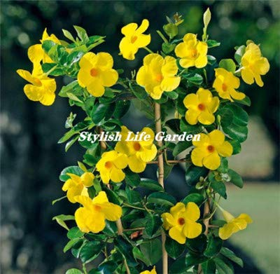 100 pcs Mandevilla Sanderi(Dipladenia sanderi) flores, Bonsai Flower Potted Plant plantas for Home Garden Ornamental Bonsai : 7