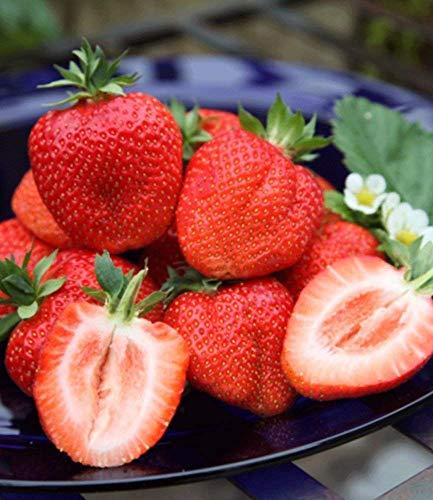 Soteer Garten - Zuckersüss Riesen Erdbeere Samen großfruchtig Kletternpflanzen Samen für Garten und Balkon Topf usw.