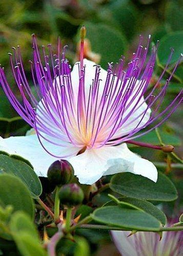 Tropica - Kräuter - Echter Kapernstrauch (Capparis spinosa) - 25 Samen