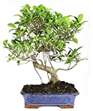 Bonsai - Ficus, 16 Años (Bonsai Sei - Ficus Retusa)