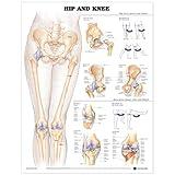 Hip and Knee Anatomical Chart - Anatomical Chart Company