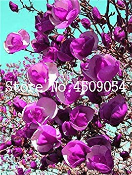GEOPONICS 30pc Multicolor Magnolia Bonsai Seltene Bunte Fragrant Yulan Seedsflower Bonsai Ligs für Heim Seas Garden Supplies: 16