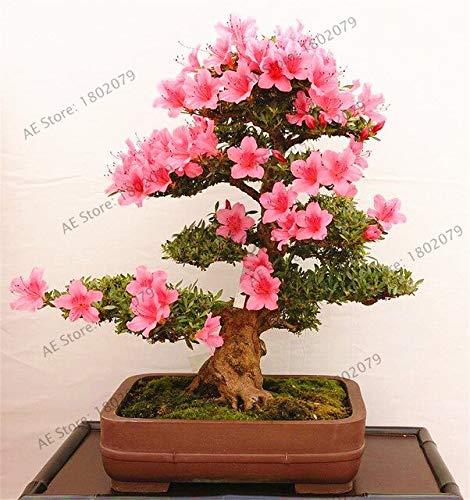 Rare Bonsai Varieties Azalea floresling(108 Plantas) DIY Home& Garden Plants Looks Like Sakura Japanese Cherry Blooms Flower PL : 16