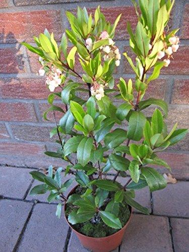 Arbutus unedo - Erdbeerbaum - Medronho-Baum