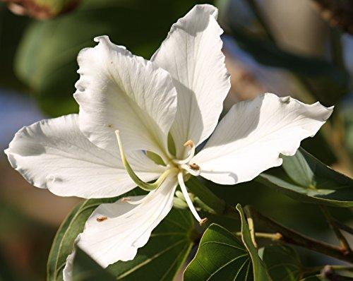 Bauhinia Racemosa,white flowering Bauhinia, 10 seeds