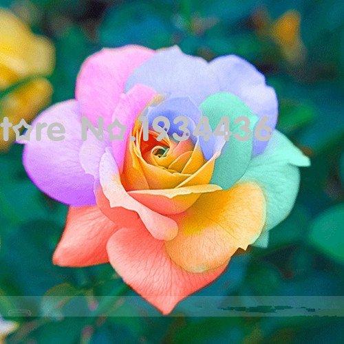 Les graines Rarest lumineux Rainbow Rose fleur plante Heirloom Garden Bonsai Flower 20 + PCS + Cadeau Mystère