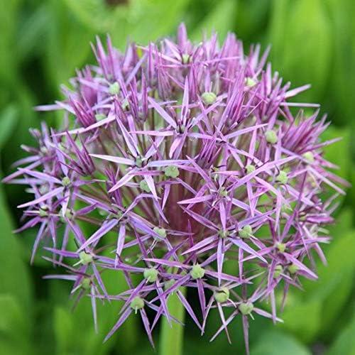 一部予約 Stars of ついに入荷 Persia Allium Tall Bulb Ornamental Onion 'Christophii'