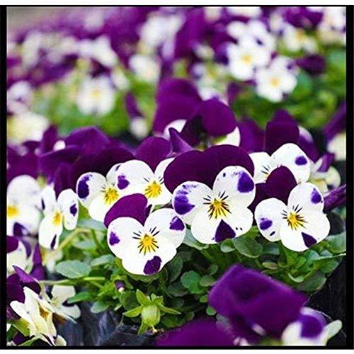 promworld Graines de Parfum rares,Fleurs ornementales pour Balcon,Hanging Pansy Seeds Espèces de Fleurs de Balcon intérieur-Rose Violet_100pcs