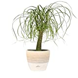 Costa Farms Ponytail Palm Bonsai, Live Indoor Plant, 15 to 20-Inches...