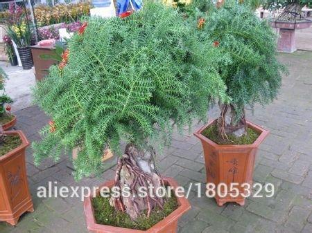 50Araucaria Samen Outdoor Pflanzen Erfrischende Bonsai Samen Blattwerk Pflanzen Baum Samen Shown In Desc gelb
