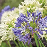 Thompson & Morgan Bare Root Hardy Garden Plants Agapanthus, Ideal for Borders & Patios, Easy to Grow, 6 or 12 x Agapanthus Blue & White Collection Bare Root Plants (6 Bare Root Plants)