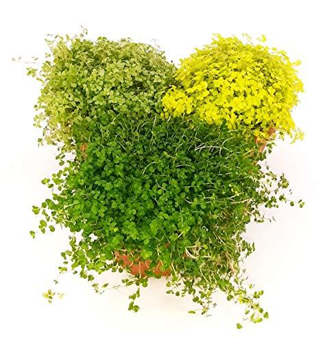 HELXINE SOLEIROLIA, piante vere