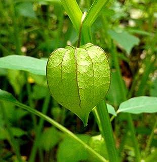 UCHUVA  RARES BONSAI   FLOWER 10 SEEDS PLANT