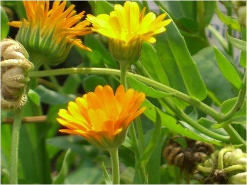 Seedeo® Bio Ringelblume (Calendula officinalis) ca. 200 Samen