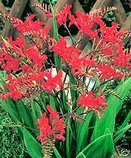 10 RED Lucifer CROCOSMIA Flower Seeds
