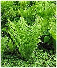 20 Ostrich Glade Fern Rhizome/root/ Live Plant - (Matteuccia struthiopteris)