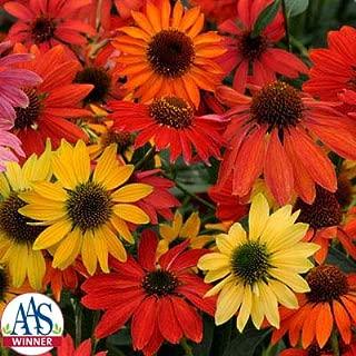 Echinacea - Cheyenne Spirit Mix - All-America Selections Winner - Flower Seeds - 100 Seeds