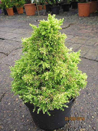 Cryptomeria japonica Twinkle Toes - Japanische Sicheltanne Twinkle Toes