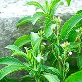 TOYHEART 100Pcs Semi Di Fiori Premium, Semi Di Foglie Dolci Natura Zucchero Pianta Commestibile Erba Stevia Bonsai Piantine Per Giardinaggio Semi di Stevia