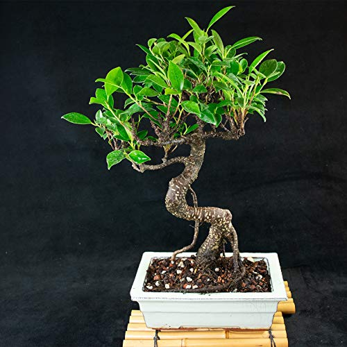 Taiwanese Ficus Shohin Bonsai Tree - Tiger Bark # 5642