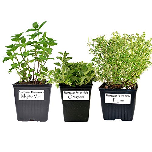 Stargazer Perennials Organic Mint Herb 3 Plant...