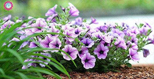 100 pcs/sac à double pétales graines de pétunia graines de fleurs bonsaï fleurs court jardin hauteur des graines de pot plante d'intérieur ou ourdoor 5