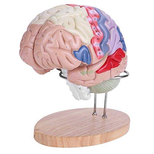 Akozon 脳模型 脳解剖モデル 人間の脳モデル カラーコーディング 50以上のマーカー 2倍拡大モデル 立体パズル 解剖学的 医学解剖学ヒューマンリージョナル学習用 大脳皮質神経4部
