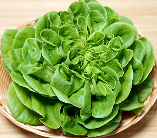 Kopfsalat Salanova® Hilbert RZ - Salate - 10 Pillensaat-Samen