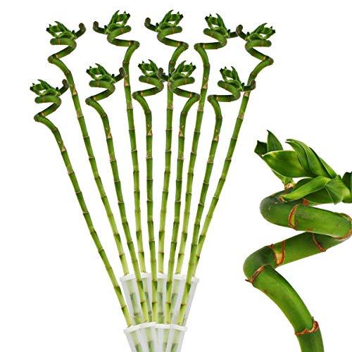 Exotenherz - 10er Set Glücksbambus 'Lucky Bamboo' - spiralförmig - im Röhrchen - Dracaena Sanderiana - ca. 50 cm hoch