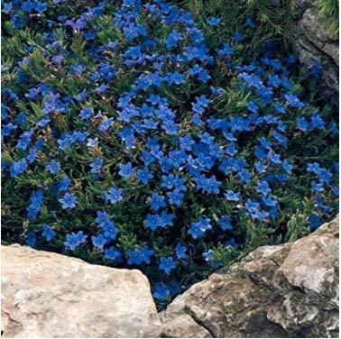 Gartensamen SummerRio- 50 pcs Selten Gänseblümchen Pflanzen mehrjährig winterhart Steingarten Winterharte Eisblume Steingarten Stauden Blumensamen bienenfreundliche
