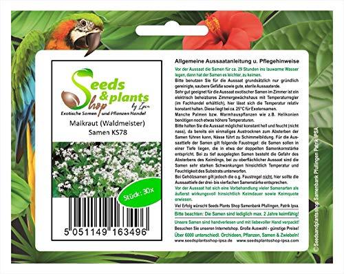 Stk - 30x Maikraut (Waldmeister) Samen Garten Blumen Pflanze Saatgut KS78 - Seeds Plants Shop Samenbank Pfullingen Patrik Ipsa