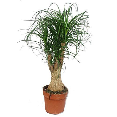 Exotenherz - Elefantenfuss - verzweigt - Zimmerpflanze - ca. 60cm