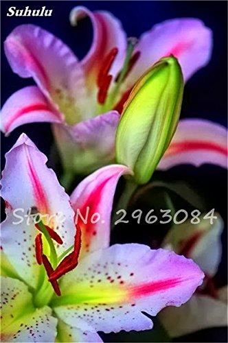 Livraison gratuite 100 pcs Lily Graines de fleurs Parfums Lily Graines Indoor Bonsai Graines exotiques vivace Plante en pot pour jardin 12