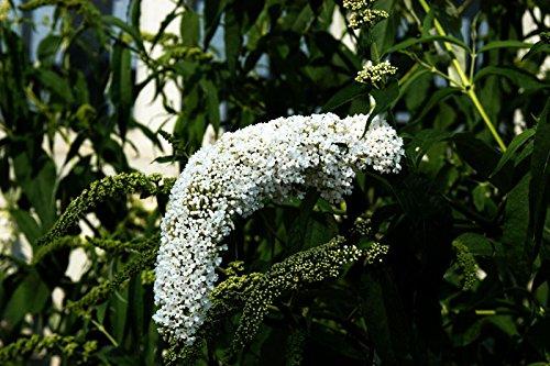 Sommerflieder Schmetterlingsflieder weiße Blüte Sommerflieder Peace Buddleja davidii Peace Containerware 40-60 cm hoch,