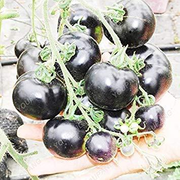 Fash Lady Klar: 1 Packung 100 Samen/Pack Mehrjährige Tomaten Riesen Bäume Outdoor Gewächshaus Verfügbar Heirloom Tomatensamen In Bonsai Klar