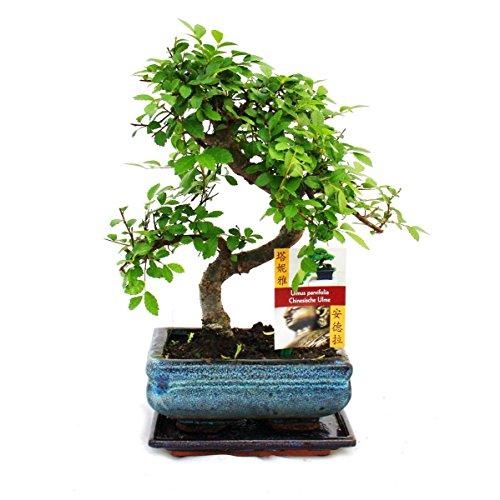 S förmiger Ulmen Bonsai 15cm - 1 baum