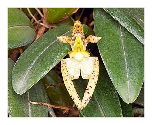 Bulbophyllum lasiochilum - orchidées - 100 graines