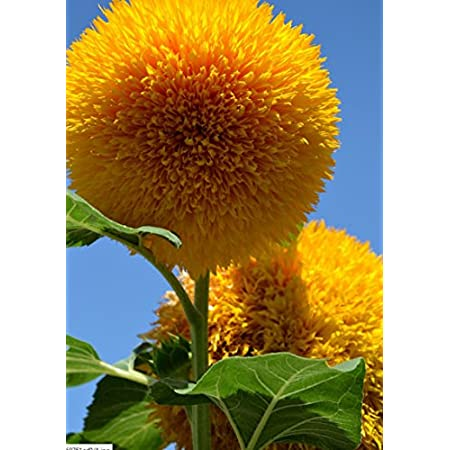 40 seeds Prairie Smoke seeds semillas de flores plants for DIY Home /& Garden GIFT bonsai potted rare flower seeds