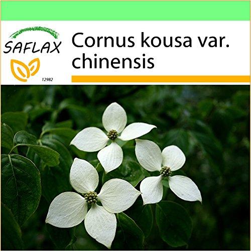SAFLAX - Garden to Go - Asiatischer Blüten - Hartriegel - 30 Samen - Mit Tontopf, Untersetzer, Anzuchtsubstrat und Dünger - Cornus kousa