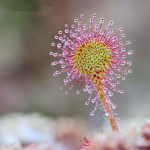 PRODUITS HOO - Drosera peltata Graines Drosera Plante en pot circulaire Plantes Carnivores Jardin Graines 100 graines/Sac Nouvelle arrivée!