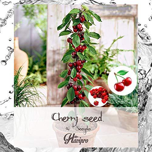 ALEXI Sweet Cherry Se-EDS - Shrub Prunus Cerasus Tree Se-EDS - Big Fruit - Non GMO - DIY Bonsai Home Garden Yard Decor Se-EDS