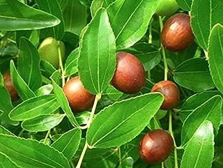 Ziziphus Zizyphus Jujuba Jujube - Chinese Date - Tropical Plant Tree Seeds (5)