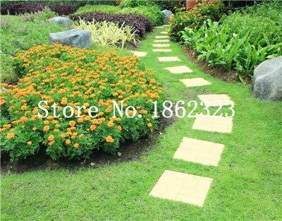 GETSO 1000 Pcs Gazon coréenne (Zoysia Tenuifolia) Plante Vivace à Feuilles persistantes bonsaïs pelouse, Facile à cultiver: 1000pcs-4
