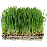 Handy Pantry Organic Wheatgrass Seeds - For Wheat Grass, Cat Grass, Food Storage & More - Hard Red Wheat (2.5 Pounds)