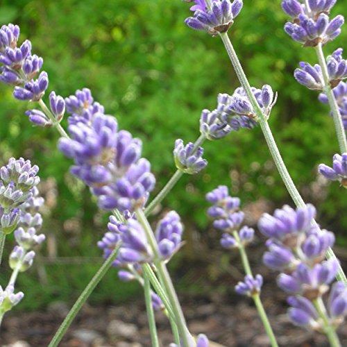 Blumixx Stauden Lavandula angustifolia 'Munstead' - Garten-Lavendel im 0,5 Liter Topf blauviolett blühend