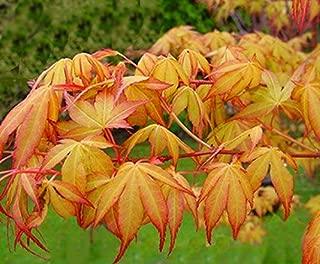 Best katsura japanese maple tree Reviews