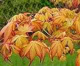 Katsura Japanese Maple 2 - Year TREE