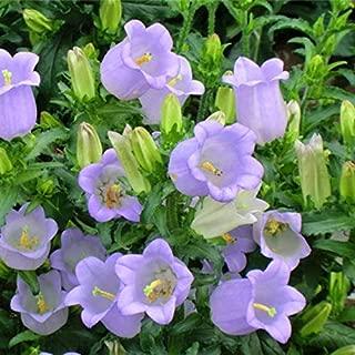 Kztiton - Rose Plant - 50pcs Ipomoea Nil Perennial Flower Seeds Bonsai Blooms Purple Colorful Garden Home - Fertilizer Petunia Vase Raised Bulbs Seeds Seedsplant Summer Glory Plugs Indoor Lemon Bags M