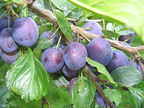 Pianta vera da frutto ALBERO DI SUSINO SIMILE-PRUNUS DOMESTICA STANLEY- VIOLA 'STANLEY' A RADICE NUDA - 1 METRO