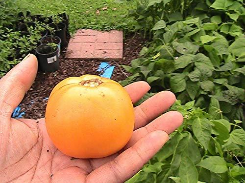 FERRY HOCH KEIMUNG Seeds Nicht NUR Pflanzen: Quinoa: Gemüse-Samen -Sie kann wählen